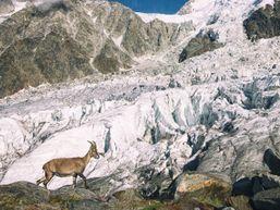 Chamois devant le glacier des Bossons, Chamonix