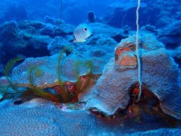 Papillon 4 ziés sur coraux