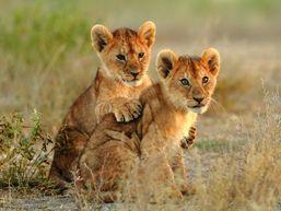 Lionceaux au Masai Mara