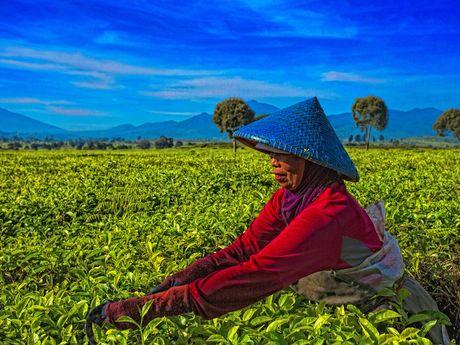 Javanaise en train de couper des feuilles de thé