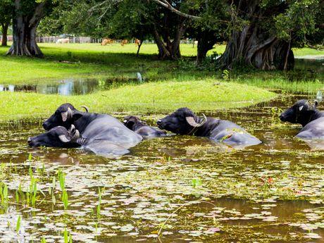 Buffles sur l'île de Marajó en Amazonie