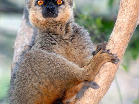Les lémuriens sont l'emblème de Madagascar