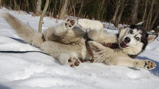 Petit trek d'hiver, refuge & musher dans la Clarée