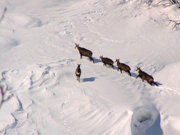 Randonnée observation des chamois - Pelvoux-6