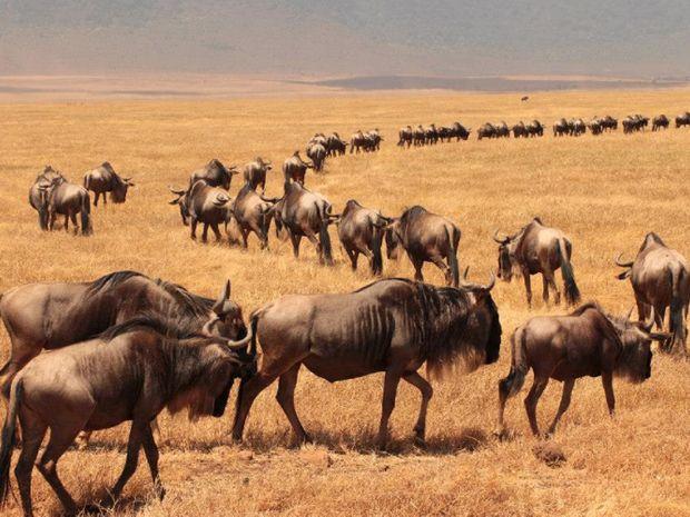 Migration des gnous dans le Cratere du Ngorongoro