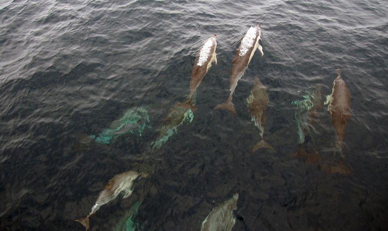 Dauphins en navigation aux Açores