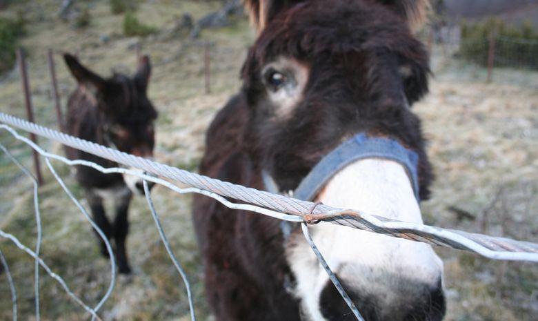 Randonnée itinérante avec des ânes-2