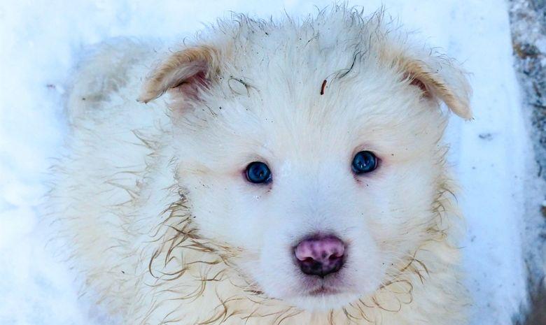 Séjour Neige Chiens et Aurores Boréales en Laponie