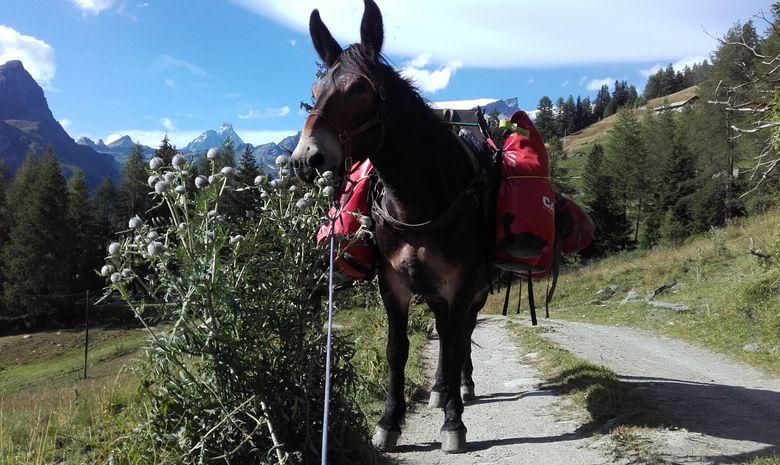 Mule transportant les sacs des randonneurs