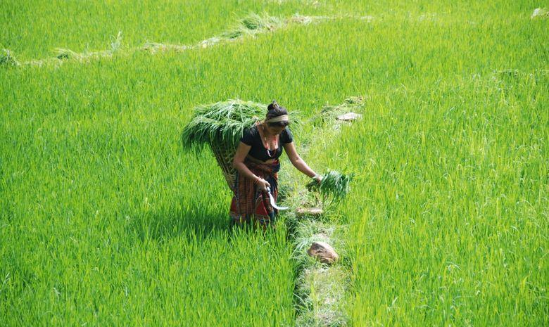 Paysanne népalaise fauchant des herbes