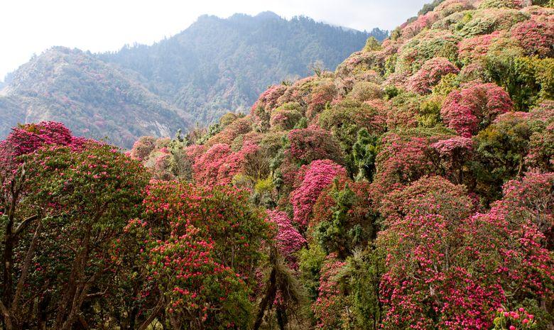 Forêt de Rhododendrons au Népal