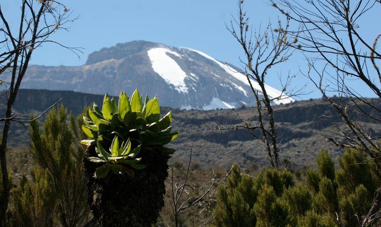 Séneçon avec le Kilimandjaro au second plan