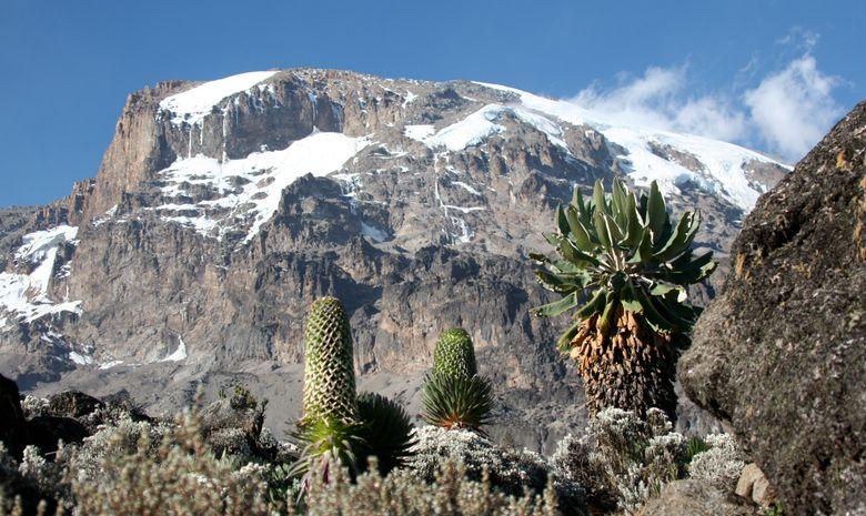 Champ de séneçon vers le Kilimandjaro