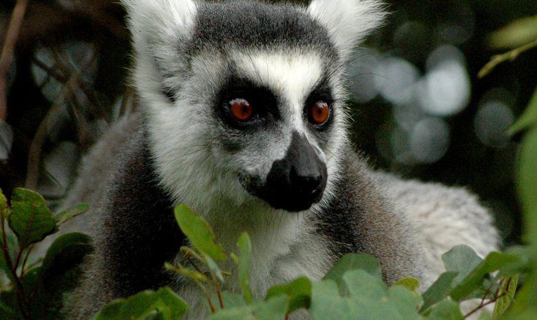 Lémur Catta dans une forêt malgache