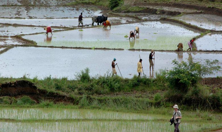 Paysans malgaches travaillant dans les rizières