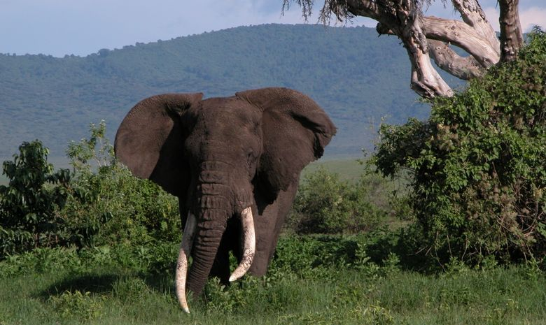 Éléphant au milieu de la végétation tanzanienne
