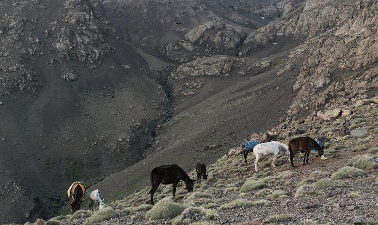 Mules mangeant après une étape de trek