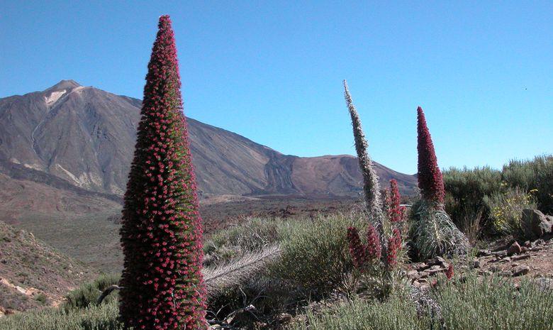Le volcan Teide et les Tajinastes rojos