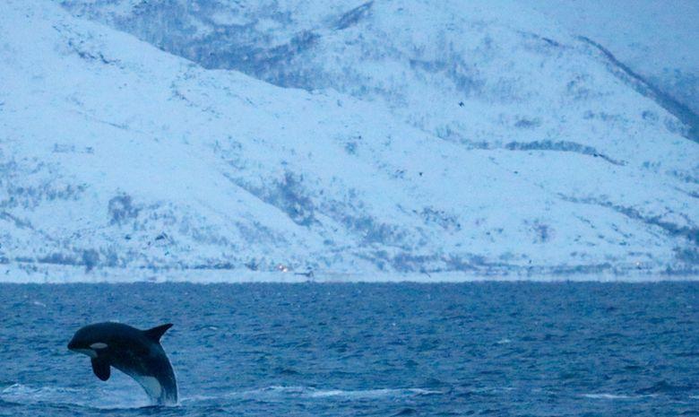 Découvrir la faune marine de Norvège à la voile -3