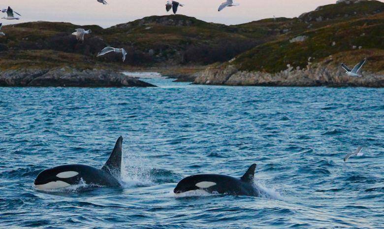 Découvrir la faune marine de Norvège à la voile -4