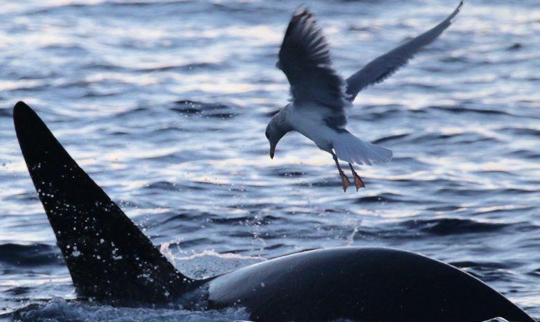 Découvrir la faune marine de Norvège à la voile -5