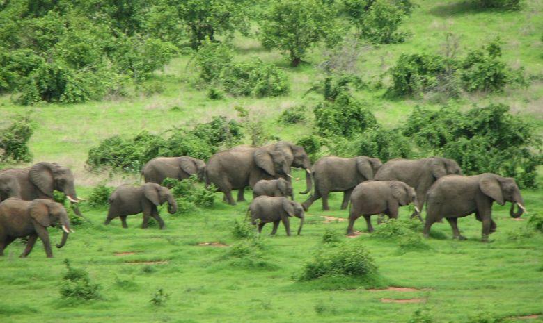 Éléphants dans la Réserve du Ruha