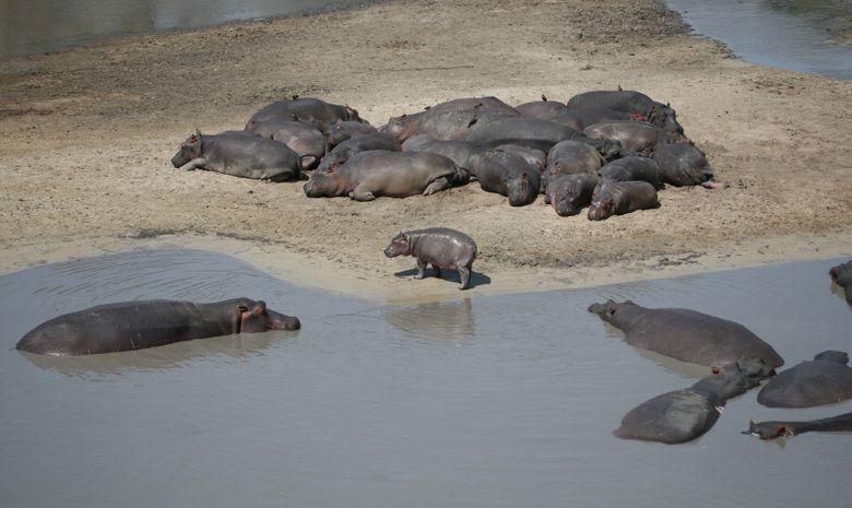 Hippopotames du Katavi