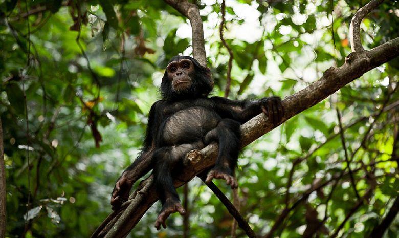 Un singe dans le Gombe