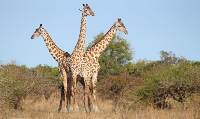 Girafes dans la réserve de Selous