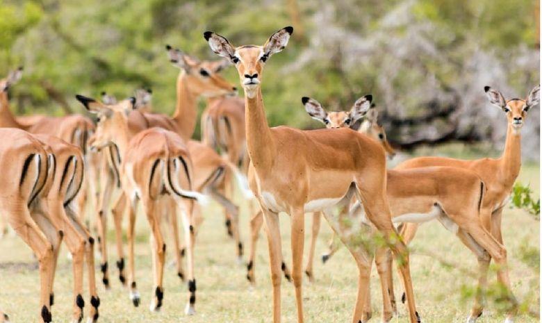 Impalas dans le Parc Mikumi