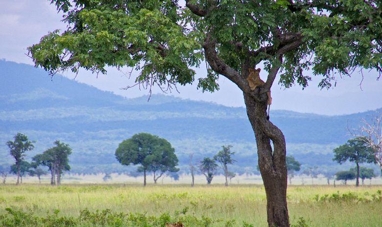 Lionne dans un arbre du Parc Morogoro