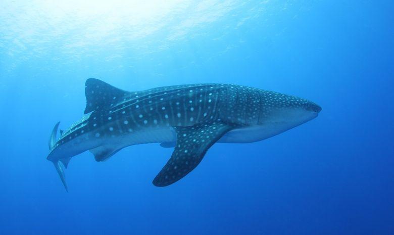 Croisière plongée Sud - Spécial Requins-baleines-4