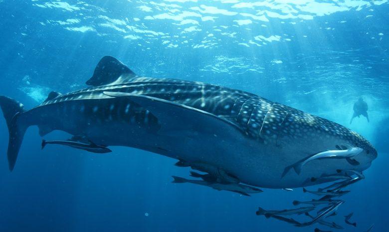 Croisière plongée Sud - Spécial Requins-baleines-1