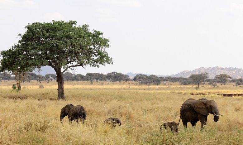 Éléphants dans le Parc National du Terengire