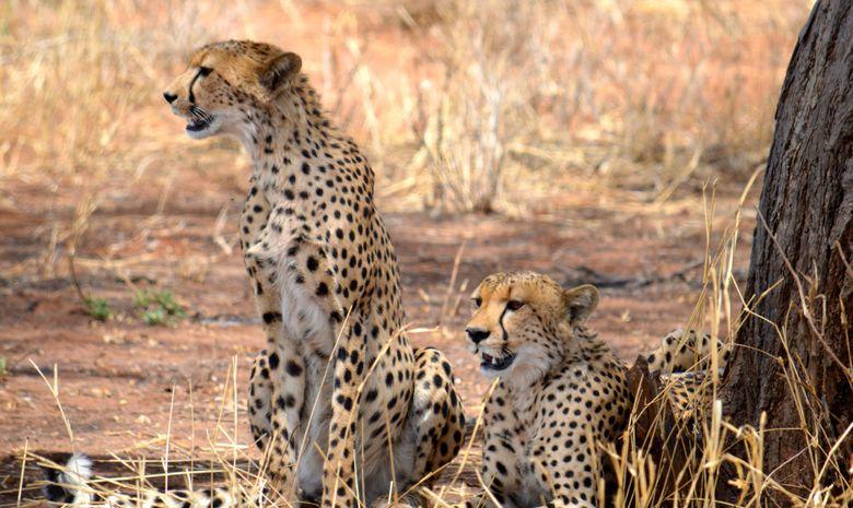 Guépards dans le Parc National du Terengire