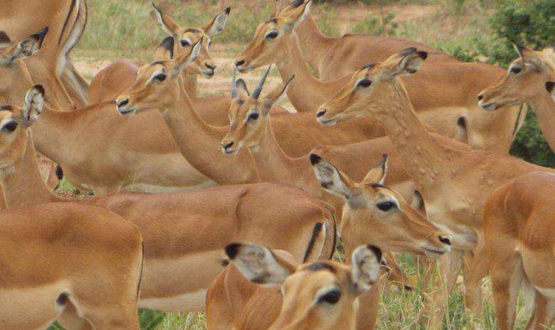 Impalas dans le Cratère du Ngorongoro