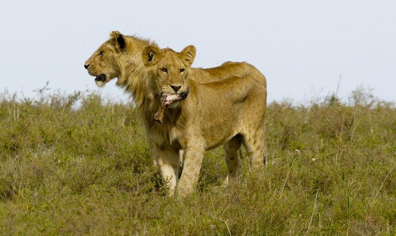 Lionnes dans le Cratère du Ngorongoro
