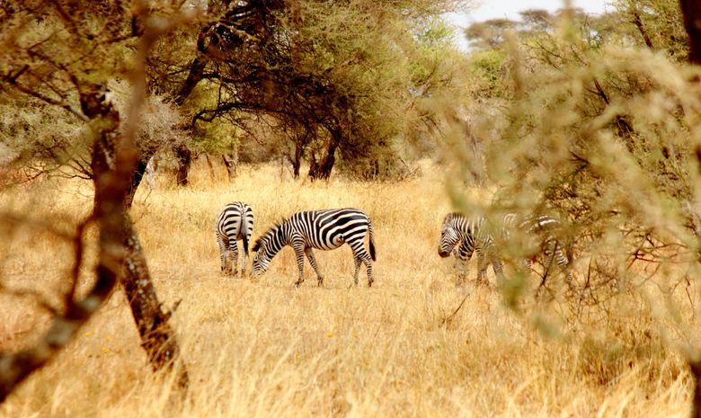 Zèbres dans le Parc National du Terengire