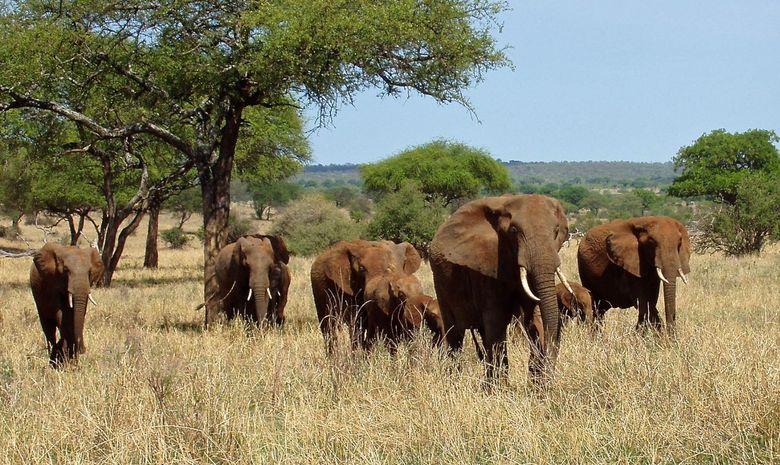 Éléphants dans le Parc du Tarangire