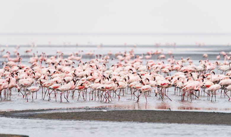 Flamands rose dans le Lac Natron