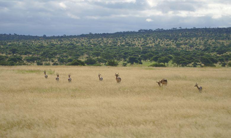 Gazelles dans le Parc du Tarangire