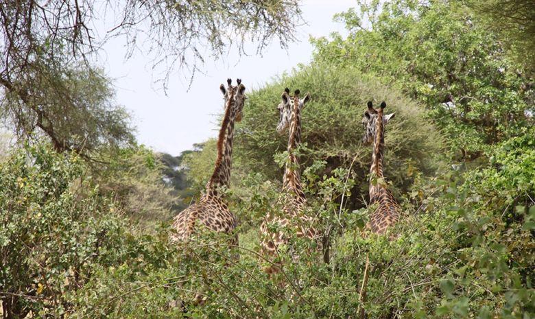 Girafes dans le Parc du Tarangire