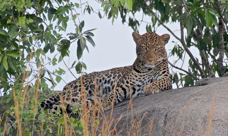 Léopard dans le Serengeti