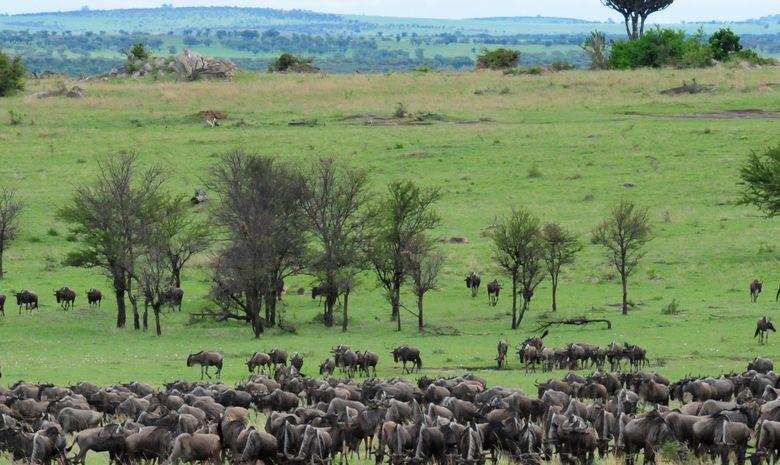 Migration des gnous dans le Serengeti