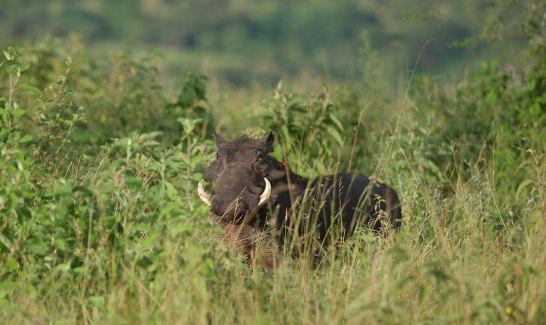 Phacochère dans le Parc du Tarangire