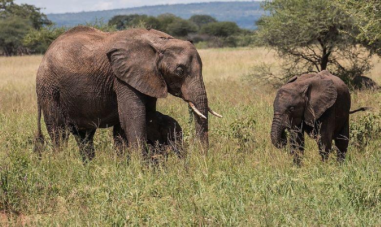 Éléphants dans le Tarangire
