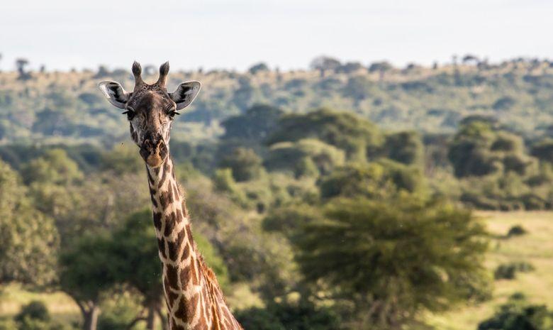 Girafe dans le Tarangire