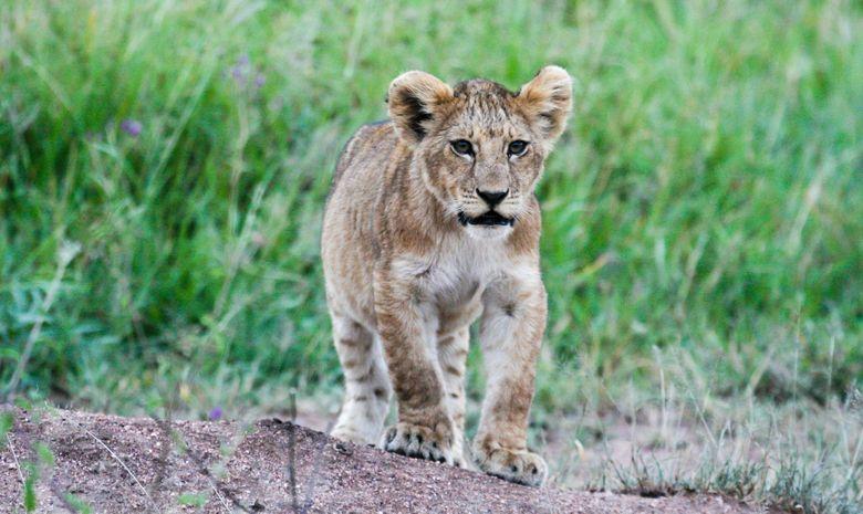 Lionceau dans le Serengeti