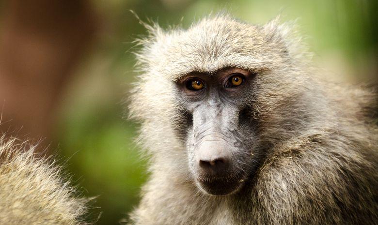 Babouin dans le Parc d'Arusha