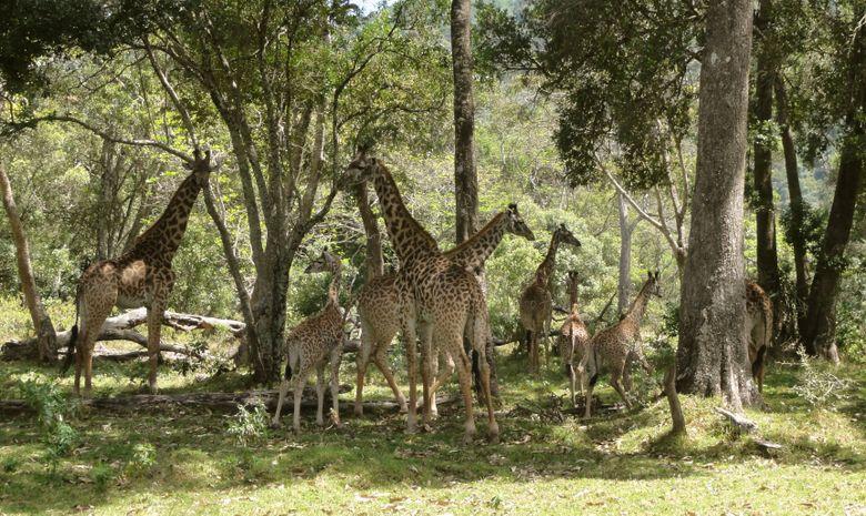 Girafes dans le Parc d'Arusha